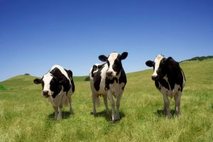 happy-cows-california